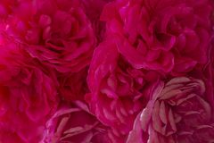 Plama styl dla tła: menchii róży płatki w miękkim kolorze fotografia stock