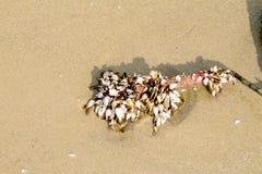 Plami gąski lub pąkle na dużym linowym Naukowym imieniu są Lepas anserifera zdjęcie royalty free