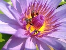 Plamy pszczoła w lotosie Obraz Royalty Free