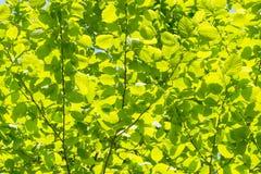 Plamy zielenieją drzewnych liście w wiośnie, abstrakcjonistyczny tło zdjęcia royalty free