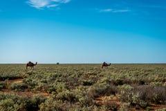 Planície de Nullarbor do camelo Fotografia de Stock Royalty Free