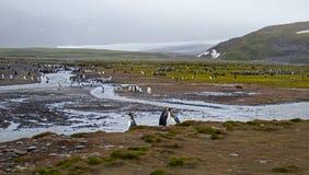 Planície de Salisbúria da colônia do pinguim de rei fotos de stock royalty free