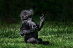 Planície ocidental Gorilla Baby II imagens de stock