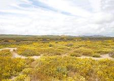 Planície super mega de Carizo da flor Imagem de Stock Royalty Free