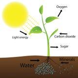Plan de la photosynthèse Images stock