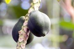 Plan del cacao fotografía de archivo