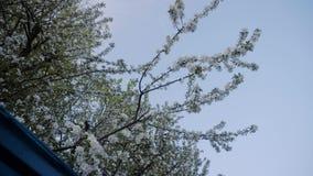 Plan general de un manzano floreciente hermoso en la primavera Árbol hermoso maravilloso contra el cielo azul metrajes