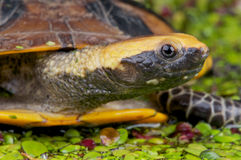plan hövdad sköldpadda royaltyfri foto