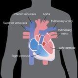 Plan hjärta i grå sihluette för människokropp som isoleras på svart bakgrund också vektor för coreldrawillustration Informationsd royaltyfri bild