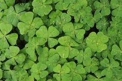 Plan look like four-leaf clover