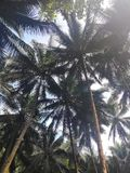Palm trees Philippines nature sky royalty free stock photo