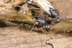 Plan rapproché à ailes de fourmi de charpentier Photos libres de droits