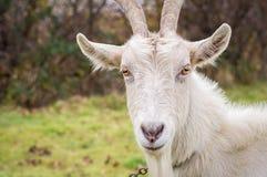 Plan rapproché à cornes de chèvre Photographie stock libre de droits