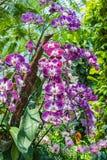 Plan rapproché à de belles espèces pourpres de Vanda ORCHIDACEAE d'orchidée Images libres de droits
