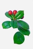 Plan rapproché à feuilles persistantes rouge de fruit Images stock