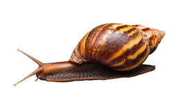 Plan rapproché à l'escargot conique de marche de Bulimoild, d'isolement Photographie stock libre de droits