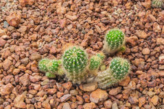 Plan rapproché à l'usine de cactus d'Echinopsis Calochlora de bébé, succulente et aride photos stock