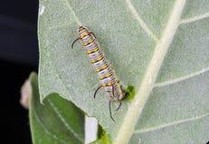 Plan rapproché à la plaine Tiger Butterfly Caterpillar, Danaus Chrysippus de larve Photographie stock libre de droits