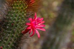 Plan rapproché étonnant d'une belle fleur magenta sur un cactus fleurissant images libres de droits