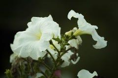 Plan rapproché étonnant des fleurs croissantes blanches Images stock