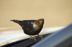 Plan rapproché actif d'oiseau Image libre de droits