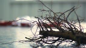 Plan rapproché, actions de noix, jeunes plantes de noix avec le système de racine jeunes plantes greffées de haute qualité pour é banque de vidéos