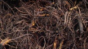 Plan rapproché, actions de noix, jeunes plantes de noix avec le système de racine jeunes plantes greffées de haute qualité pour é clips vidéos