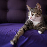 Plan rapproché adorable Cat Portrait sur le divan Photographie stock libre de droits