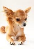Plan rapproché adorable de chien de chiwawa Image libre de droits