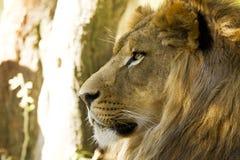 Plan rapproché africain de lion Photo libre de droits