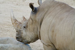 Plan rapproché africain de tête de rhinocéros blanc Images libres de droits