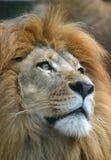 Plan rapproché africain mâle de lion Photographie stock