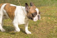 Plan rapproché anglais de bouledogue Photo stock