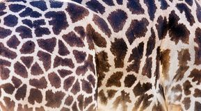 Plan rapproché animal d'impression de girafe Image stock