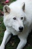 Plan rapproché arctique de loup Photographie stock