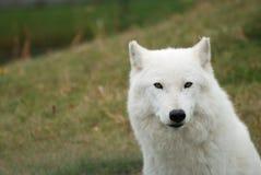 Plan rapproché arctique de loup Images libres de droits
