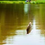 Plan rapproché attrapé de poissons de carpe crucian sur la canne à pêche sur un réservoir, jour d'été Affaires de concepts, chanc Photographie stock libre de droits