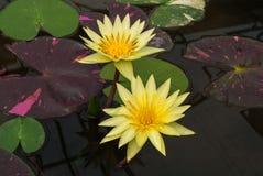 Plan rapproché au beau Nymphaeaceae de lotus de Nymphaea de lis d'eau Photographie stock