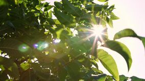 Plan rapproché au soleil, dans le vent balançant de grandes feuilles vertes de noix rangées des noyers sains dans un rural