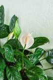 Plan rapproché aux espèces d'anthure de fleur de flamant ou de Pigg-queue / Araceae Photographie stock