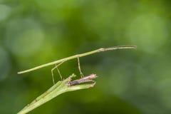 Plan rapproché avec des insectes de bâton Image libre de droits