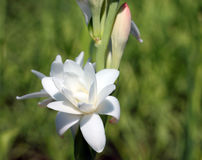 Plan rapproché avec la fleur de tuberose Photos stock