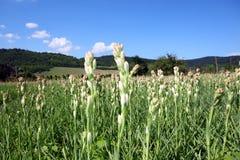 Plan rapproché avec la fleur de tuberose Photos libres de droits