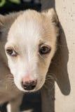 Plan rapproché beige de chiot de chien de croisement mignon Photographie stock