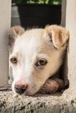 Plan rapproché beige de chiot de chien de croisement mignon Image libre de droits