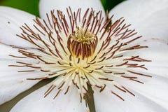 Plan rapproché blanc de clématite en pleine floraison Image stock