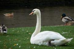 Plan rapproché blanc de cygne sur l'herbe verte près de l'eau entourée par des canards Image stock