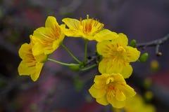 Plan rapproché blanc de fleur d'abricot (l'AMI de Hoa) Photos stock