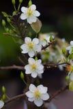 Plan rapproché blanc de fleur d'abricot (l'AMI de Hoa) Photos libres de droits
