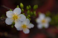 Plan rapproché blanc de fleur d'abricot (l'AMI de Hoa) Images libres de droits